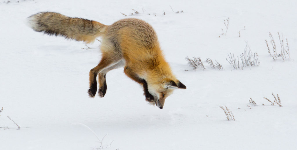 A fox dives head first into the snow to catch its prey. (Public domain image from Yellowstone National Park, USA.)